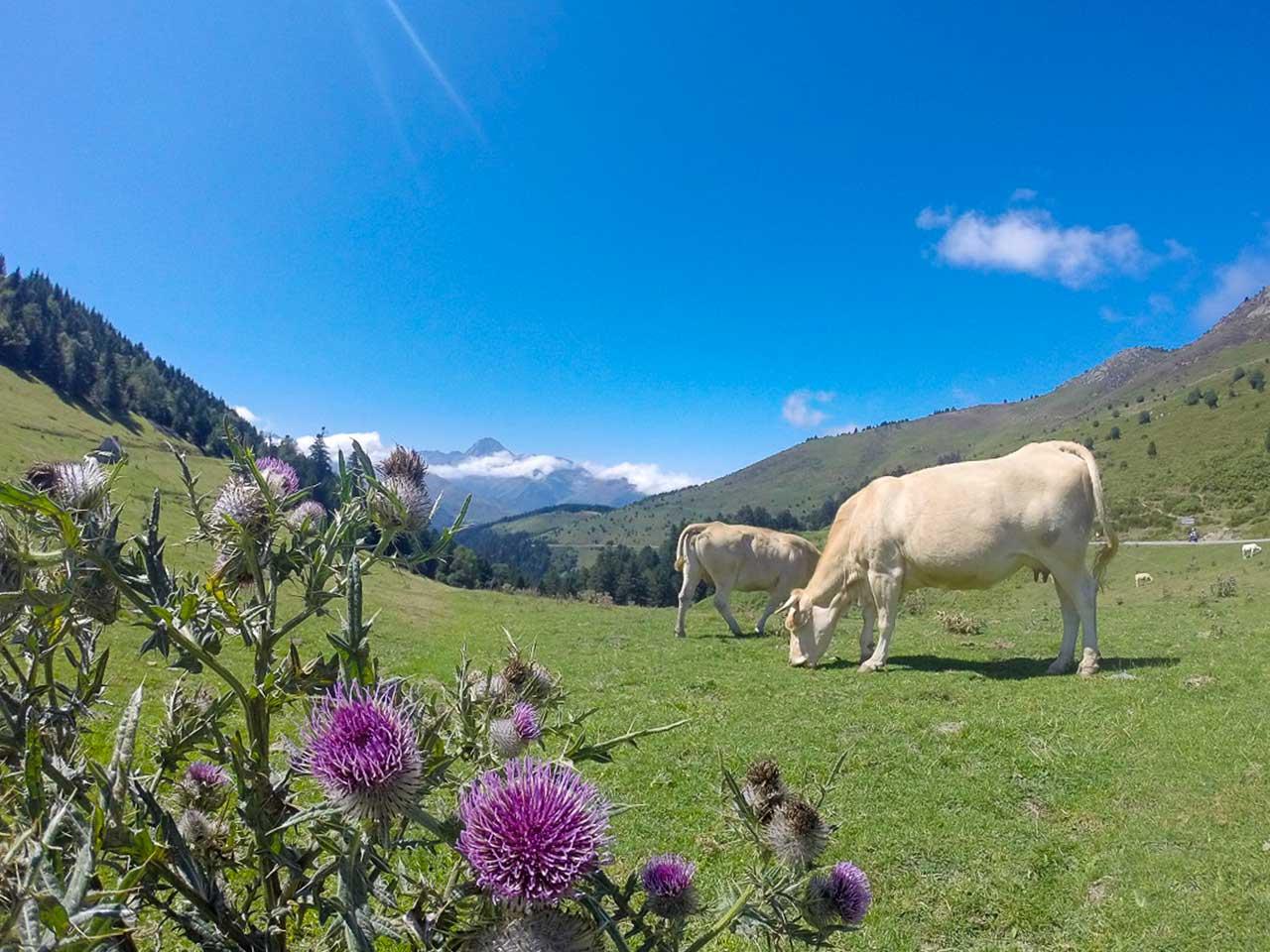 vache col d'Aspin