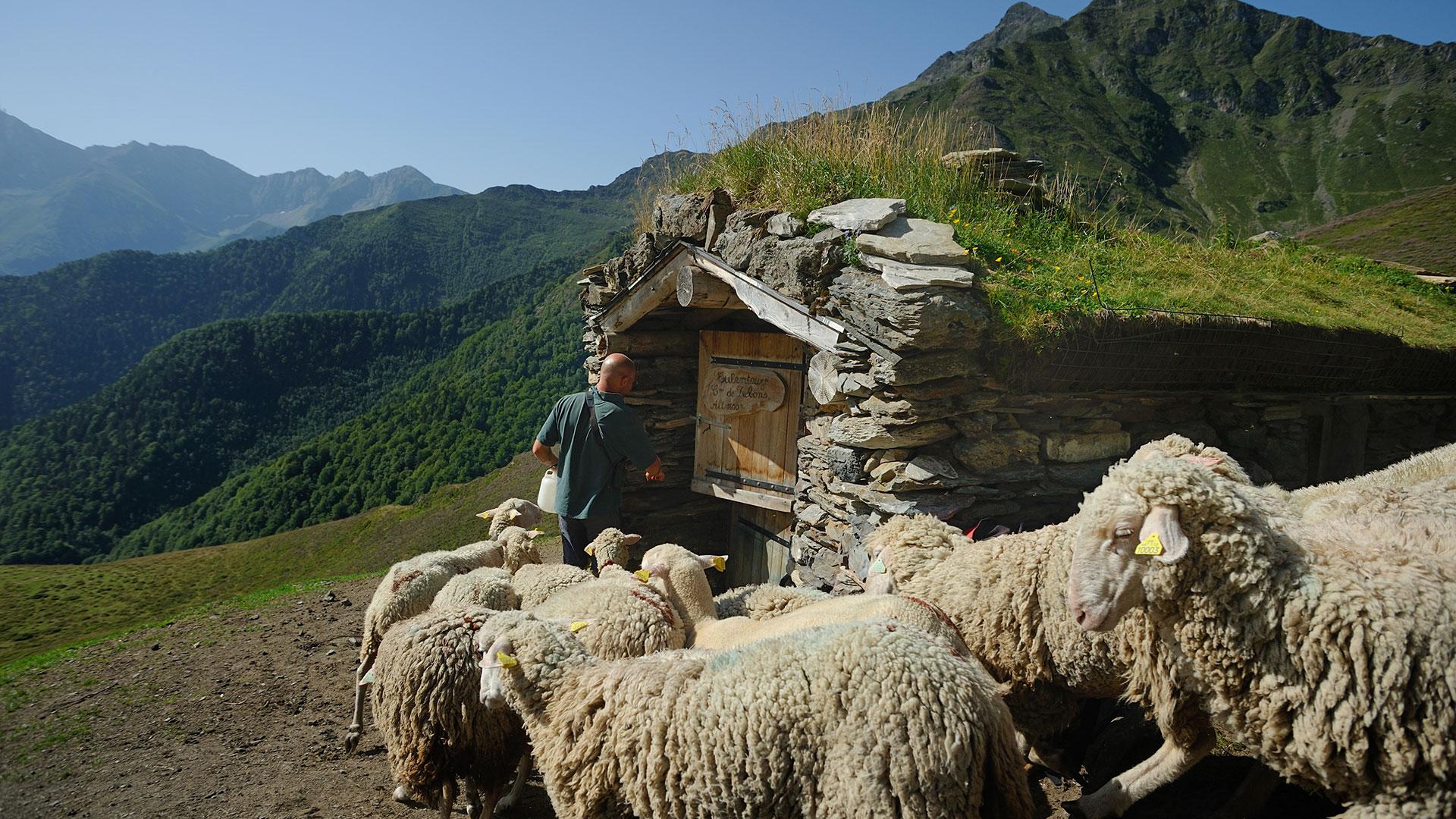 vie d'estive, berger et mouton