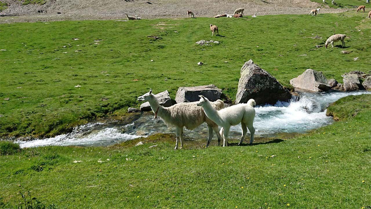 Lama à la mongie