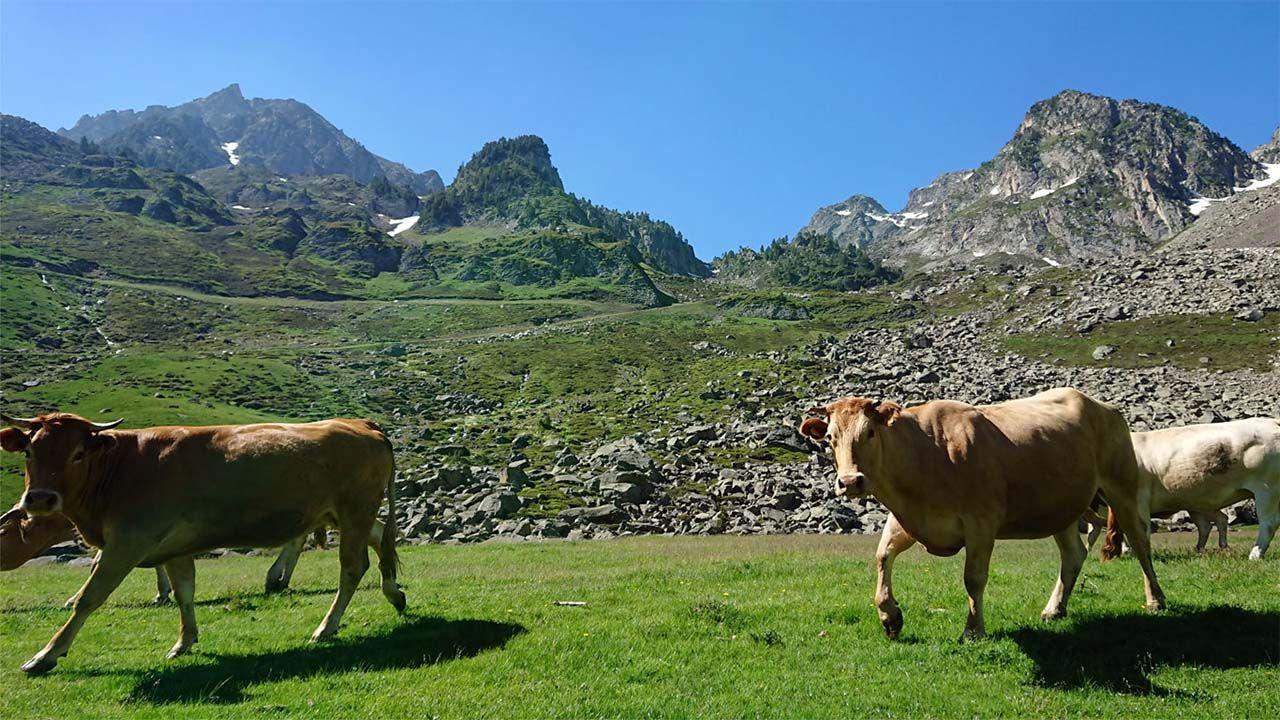 Vaches à la mongie