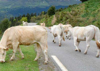 Vaches sur la route du col d'Aspin @TPM